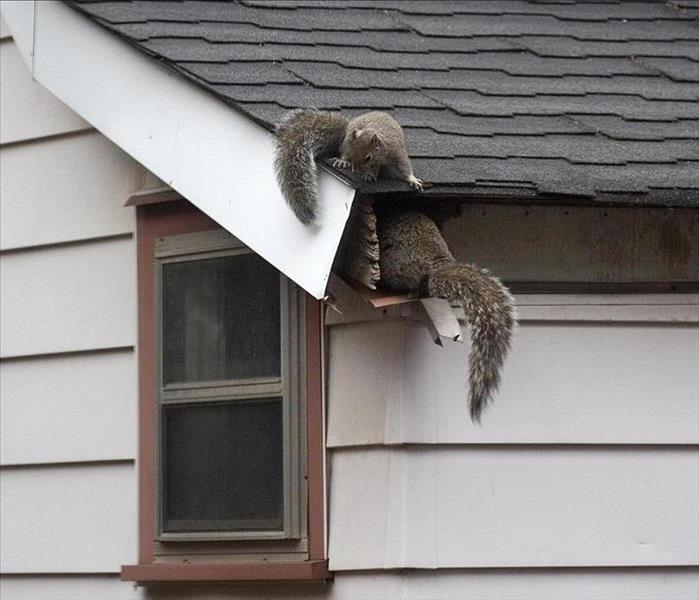 Two squirrels crawling in a roof